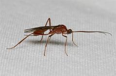 Ichneumon spp. (Wasp)