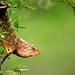 Oriental Garden Lizard by krapzapper