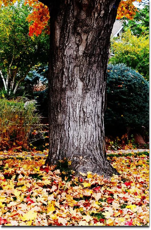 糖楓的樹幹 1