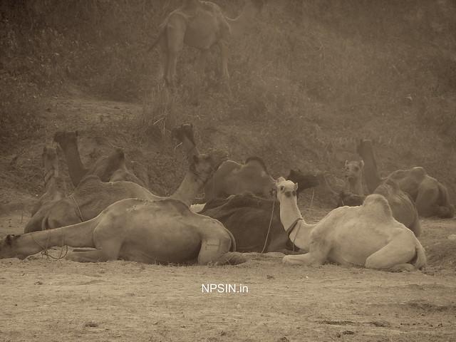 Animal Fair: Camel Fair: Rare picture of white camel