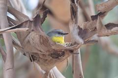 Eastern - Yellow Robin