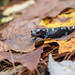 Small photo of Marbled salamander, Ambystoma opacum