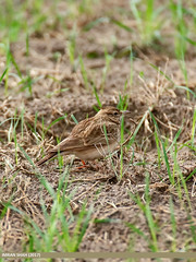 Crested Lark (Galerida cristata)