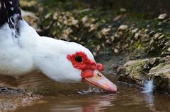 water duck