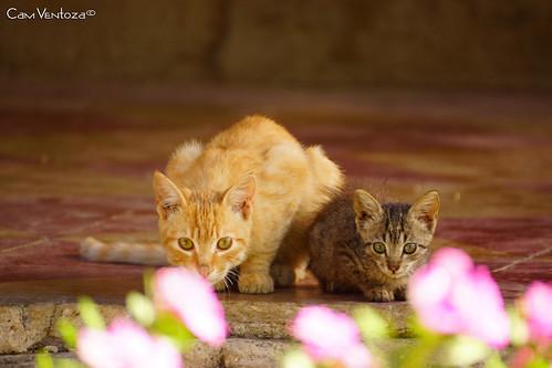 elsalvador elsalvadorcentroamerica elpulgarcitodeamerica nature camventoza fotografía photography animal cat gatos dos curioso portrait animales kitty cute beautiful