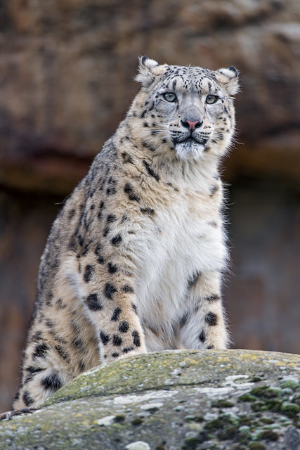 Young snow leopard sitting