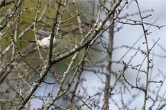 Roitelet triple bandeau - Regulus ignicapilla - Common Firecrest