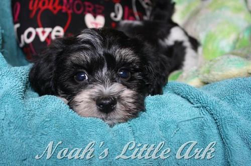 Sold Puppies in Delaware | Noah's Little Ark