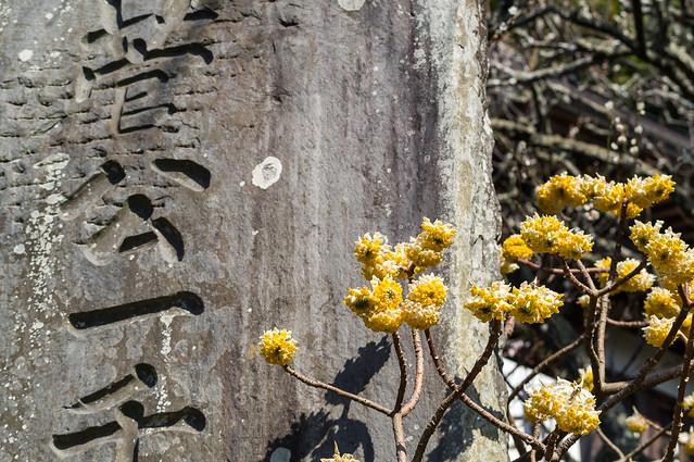 ミツマタ・・・荏柄天神社入口