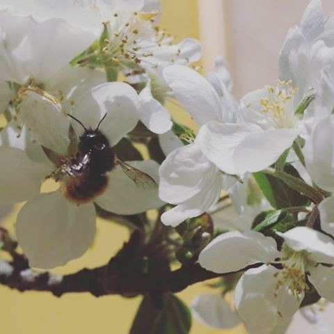 Abejas / bees. Camelia. #primavera #spring #love #instagood #beautiful #nature #amazing #beauty #bestoftheday #photo #pretty #flowers #instalove #awesome #white #instago #spring #all_shots #flower #garden #igaddict #plants #floral #flowerstagram #bee #abe