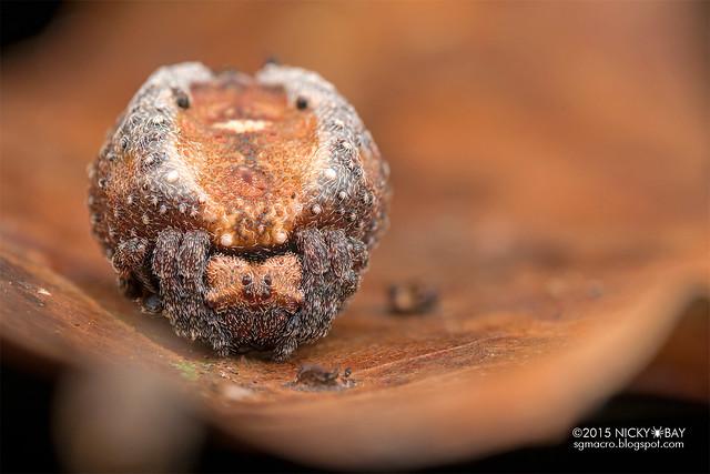 Roly poly orb weaver (Xylethrus scrupeus) - DSC_4489