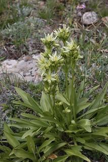 Swertia marginata (Gentianaceae)
