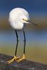 EOS50376 Snowy Egret by E.W. Smit Photos (See Profile)