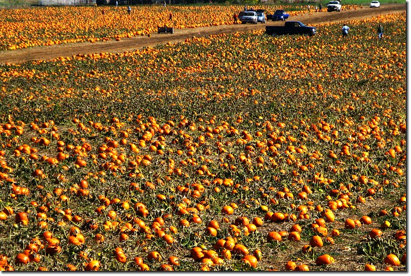 Pumpkin field 1