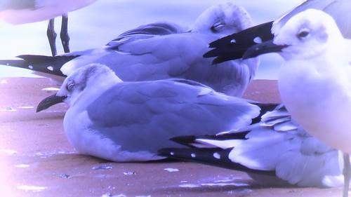 Gulls in Paradise #2