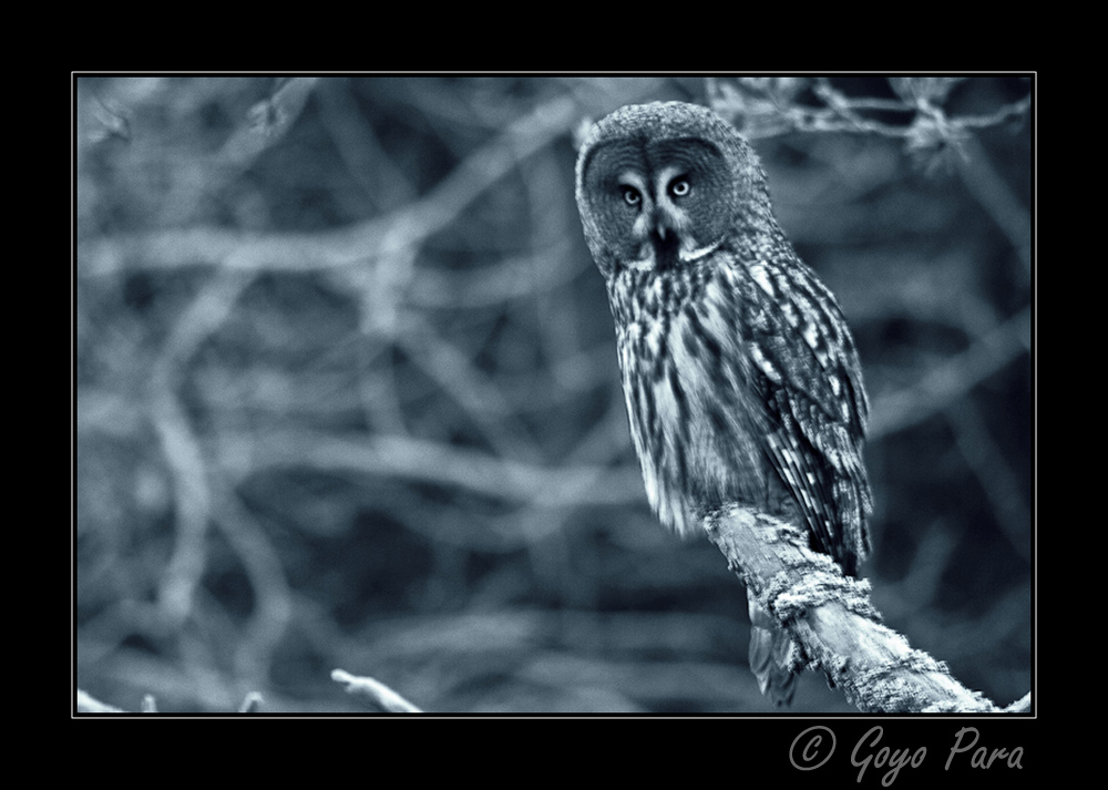 The great grey owl (Strix nebulosa)