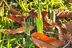 FIRST SIGNS OF SPRING , 17 JAN . 2017