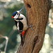 Great Spotted Woodpecker by Martin Windsor
