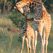 Giraffe and Calf - Giraffa camelopardalis by rosebudl1959