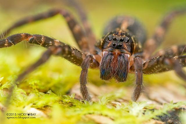 Wandering spider (Ctenidae) - DSC_1899