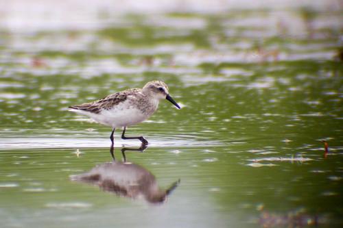 bird wildlife birding ornithology birdwatching oiseau faune semipalmatedsandpiper ornithologie bécasseausemipalmé