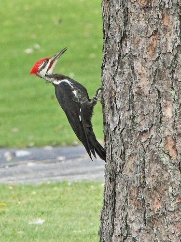 Pileated Woodpecker 06-20150905