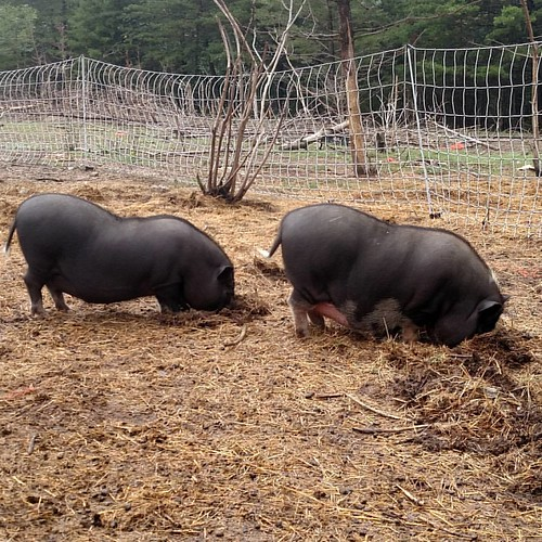 Two potbelly pigs, heads down and snouts buried in the dirt as they forage. On the left is a barrow neutered male, all black except for dainty white feets. On the right is a gilt, a young sow who has never given birth, who is mostly black except for white feet and belly and a white stripe between her eyes.