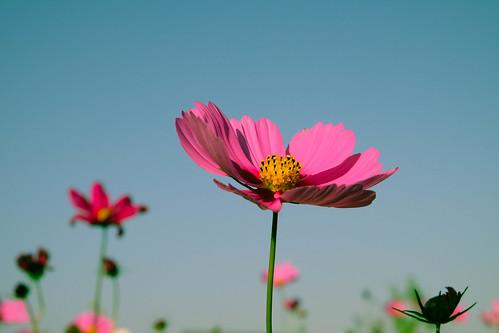 コスモスの花は今でも咲いていますか