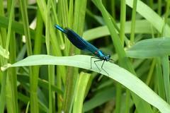 Blauflügel - Prachtlibelle (Calopteryx virgo)
