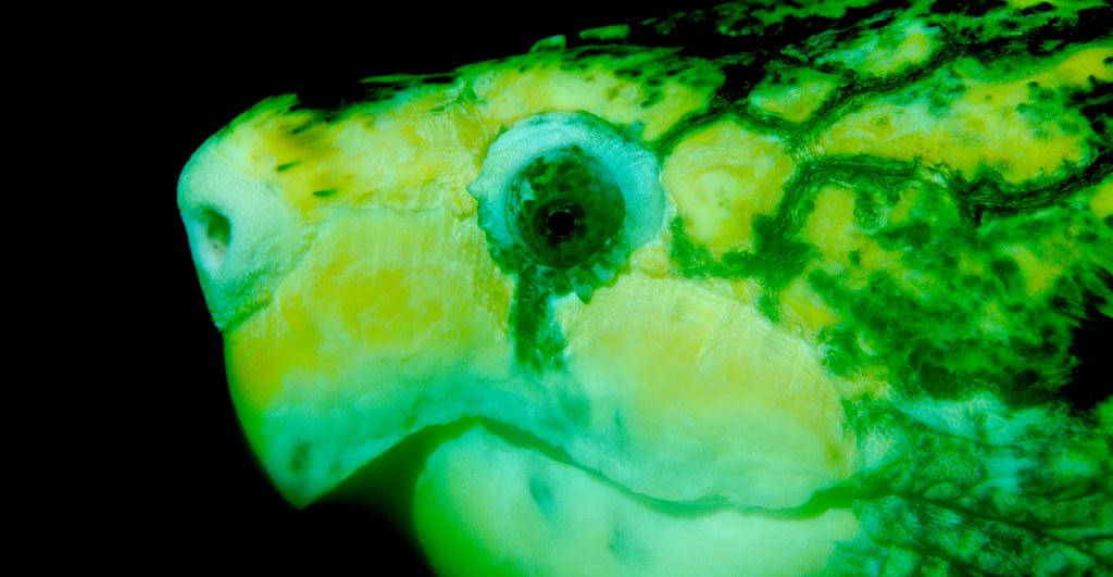 Bornean River Turtle (Orlitia borneensis)_3