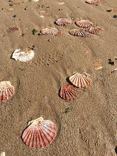 Saint-Jaques, seashells, king scallops, sand
