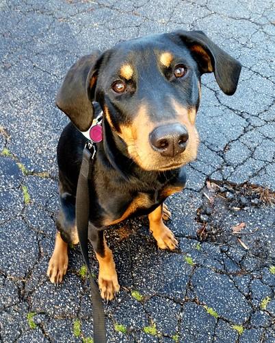 Doberman Puppy - Lapdog Creations