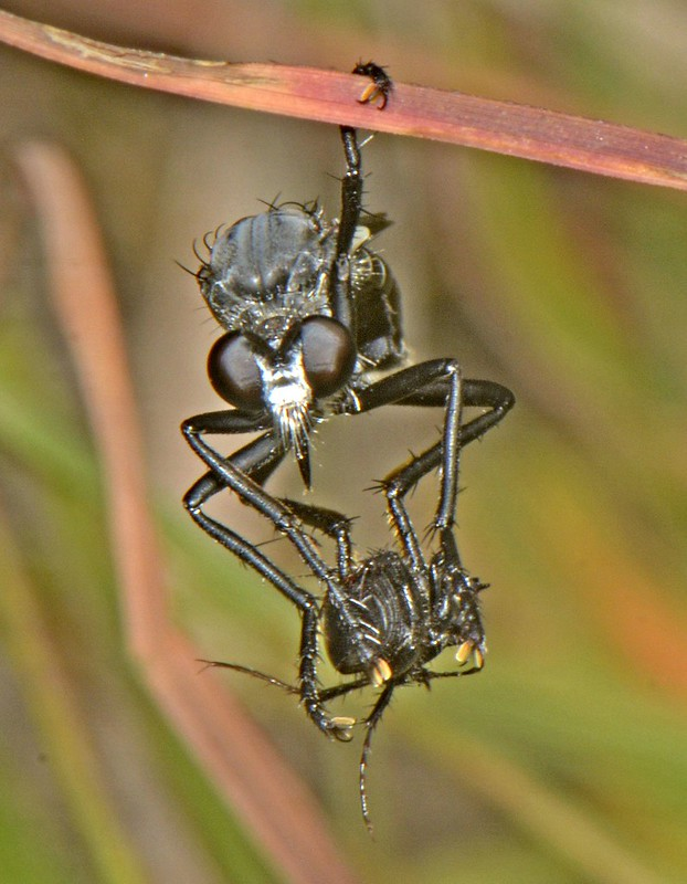 Orthoceras robberfly with prey R Kuiter