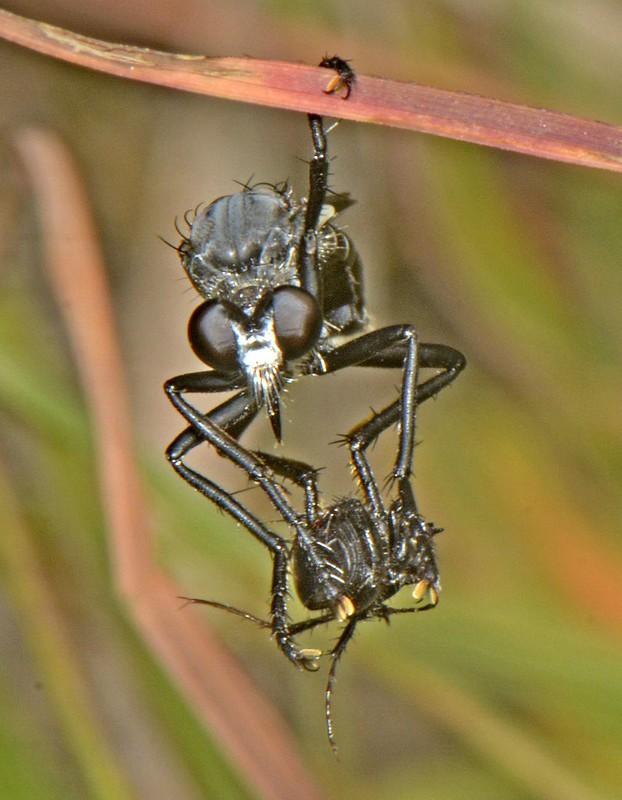 Orthoceras robberfly with prey R Kuiter