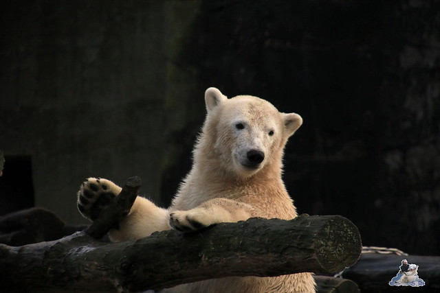 Eisbär Fiete im Zoo Rostock 12.12.2015   204