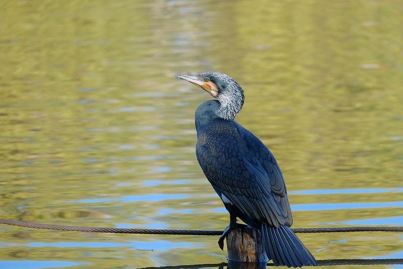 great cormorant 河鵜(カワウ)