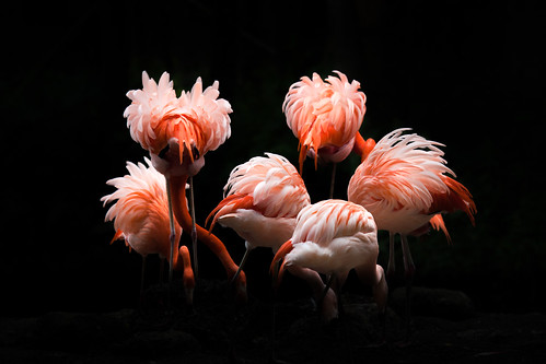 Flamingo Ballet por Billy Currie