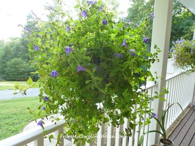 Late August Garden - torenia