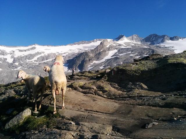 Auch die Schafe genießen das Bergpanorama