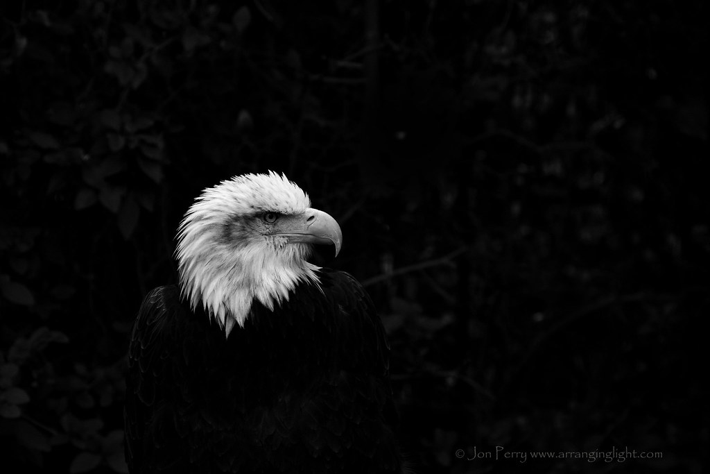 _MG_4866REW Bald Eagle Profile, Jon Perry - Enlightenshade, 6-9-15 zao