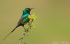 Beautiful Sunbird (Nectarinia pulchella)