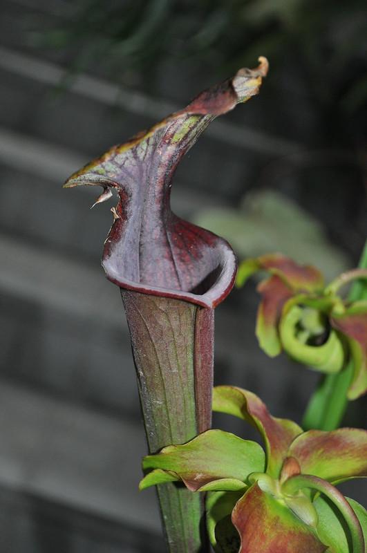 Sarracenia flava hybrid