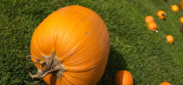 Pumpkins at Boyne Mt.