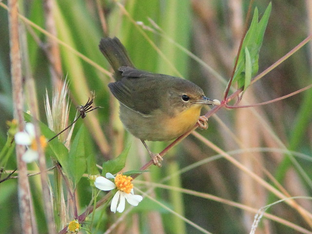 Common Yellowthroat 03-201008