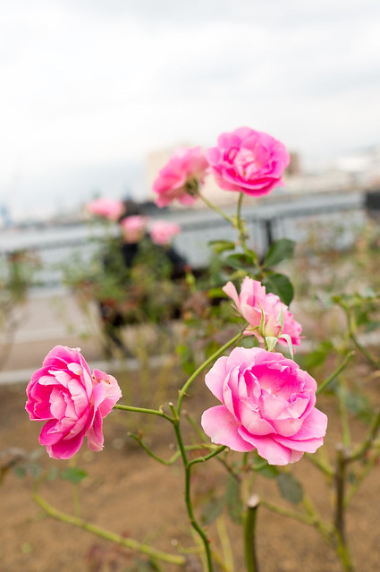 Ingressミッションデイ横須賀、ヴェルニー公園で見たバラ