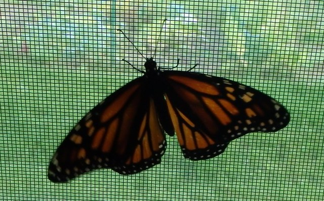 monarch on a window screen