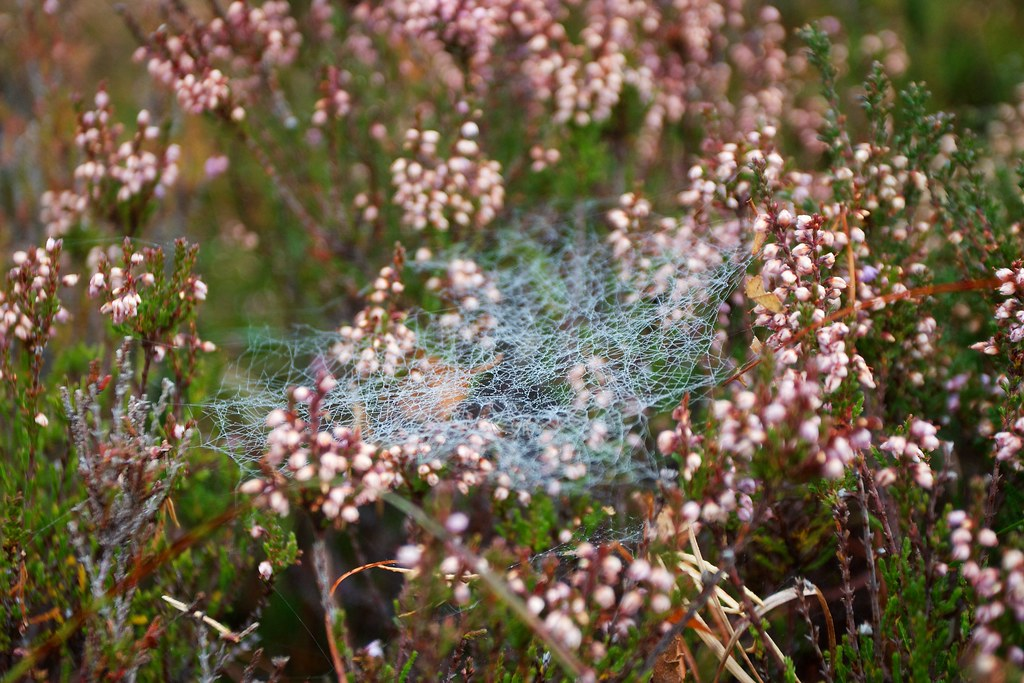 Cobwebs and Heather