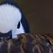 White-faced Whistling Duck by J Sonder