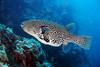 Grouper, Panasagma 1