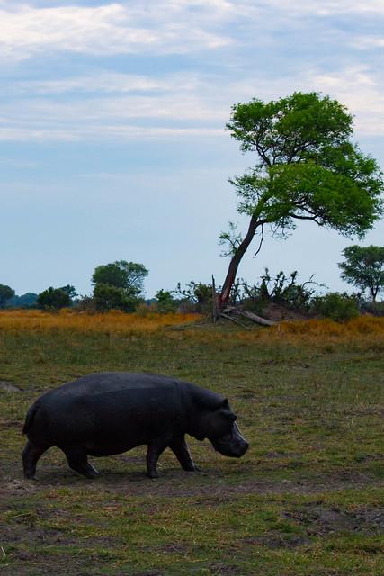 Hippo leaving